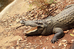Krokodil i naturen - på jordningen. Fotografering för Bildbyråer