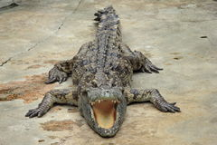 Krokodil i Sun Arkivbild