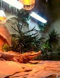 Krokodil i terrariumen Royaltyfria Foton