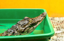 Krokodil i terrariumen Arkivbilder