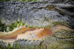 Krokodil I van het zoutwater royalty-vrije stock foto's