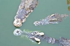 Krokodil i vatten Arkivbild