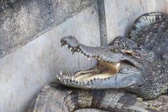 Krokodil i zoo (Thailand) Royaltyfri Foto