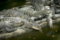 Krokodil i zooen royaltyfria foton