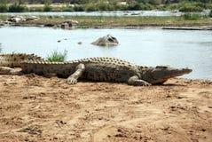 Krokodil II Stockfoto