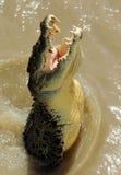 Krokodil III van het zoutwater Stock Foto