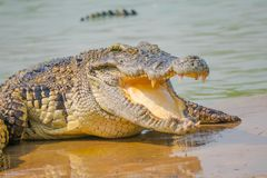 Krokodil im Bauernhof isst neues Lebensmittel lizenzfreie stockfotos