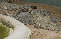 Krokodil im Bauernhof Thailand Stockbild