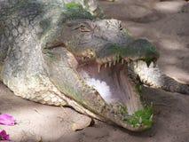 Krokodil im Gambia Lizenzfreie Stockfotos