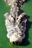Krokodil im grünen Wasser Lizenzfreie Stockbilder