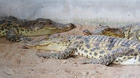 Krokodil im Käfig Stockbild