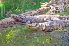 Krokodil im Schlamm Lizenzfreies Stockbild