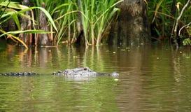 Krokodil im Sumpf Stockbild