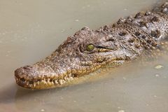 Krokodil im Wasser Stockfoto