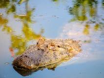 Krokodil im Wasser Stockfotos