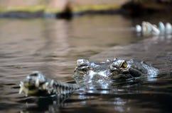 Krokodil im Wasserfoto Stockbild