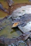 Krokodil im Zoo lizenzfreie stockfotografie