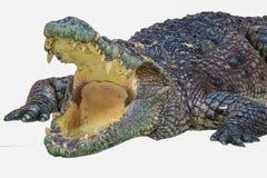 krokodil isolerad liggande white arkivfoto