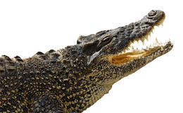 krokodil isolerad white Royaltyfri Foto