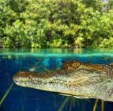 Krokodil-Kaimanschwimmen im Mangrovesumpf lizenzfreie stockbilder