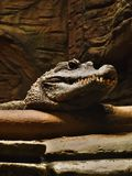 Krokodil-Kopf Stockfotografie