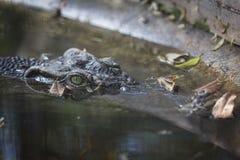 Krokodil-Kopf im Wasser Lizenzfreie Stockfotos
