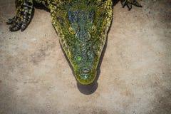 Krokodil kriecht zum Aalen im Teich am Bauernhof Crocod Lizenzfreies Stockbild