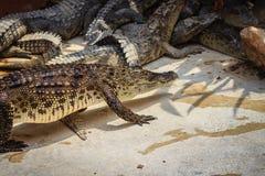 Krokodil kriecht zum Aalen im Teich am Bauernhof Crocod Stockbilder