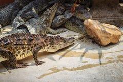 Krokodil kriecht zum Aalen im Teich am Bauernhof Crocod Lizenzfreie Stockfotos