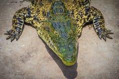 Krokodil kriecht zum Aalen im Teich am Bauernhof Crocod Lizenzfreie Stockfotografie