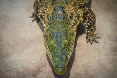 Krokodil kriecht zum Aalen im Teich am Bauernhof Crocod Stockfoto