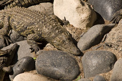 Krokodil (Krokodil Mississippiensis) Lizenzfreies Stockbild