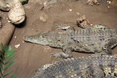 Krokodil, Krokodille, Wild Dier, Aard Royalty-vrije Stock Fotografie