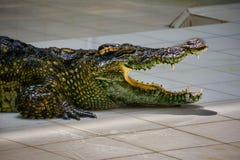 krokodil Krokodillen die bij Krokodillandbouwbedrijf rusten stock afbeeldingen
