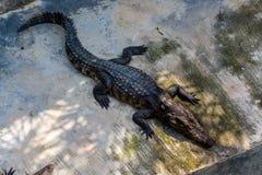 krokodil Krokodillen die bij Krokodillandbouwbedrijf rusten royalty-vrije stock foto