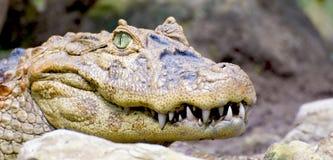 Krokodil-Lächeln Lizenzfreies Stockfoto