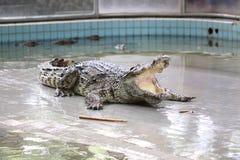 Krokodil in landbouwbedrijf. Stock Foto's