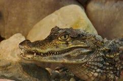 Krokodil Lat Crocodilia is grote aquatische reptielen Tanden van de krokodil De krokodillen leven door de keerkringen in Afrika royalty-vrije stock foto's