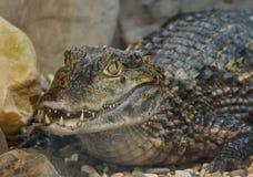 Krokodil Lat Crocodilia is grote aquatische reptielen Tanden van de krokodil De krokodillen leven door de keerkringen in Afrika stock afbeelding
