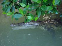 Krokodil in mangroven stock foto's