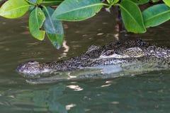 Krokodil in mangroven royalty-vrije stock afbeeldingen