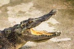 Krokodil med den öppna munnen Arkivfoto