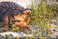 Krokodil med den öppna munnen i det gula vattnet Billabong royaltyfri foto