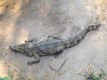 Krokodil, mening van hierboven Stock Foto