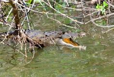 Krokodil met de geopende mond. De zwarte rivier, royalty-vrije stock fotografie