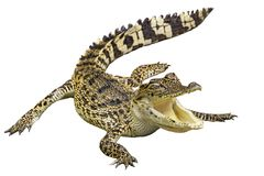 Krokodil met geïsoleerde witte achtergrond royalty-vrije stock afbeelding