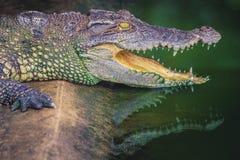 Krokodil met open kaken Profiel van een krokodil in een vijver met groen water stock afbeeldingen