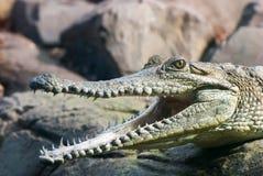 Krokodil met open mond Royalty-vrije Stock Afbeeldingen