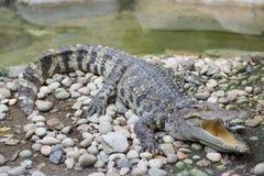Krokodil met open mond Stock Foto