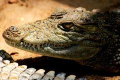 Krokodil met Scherpe Tanden stock afbeelding